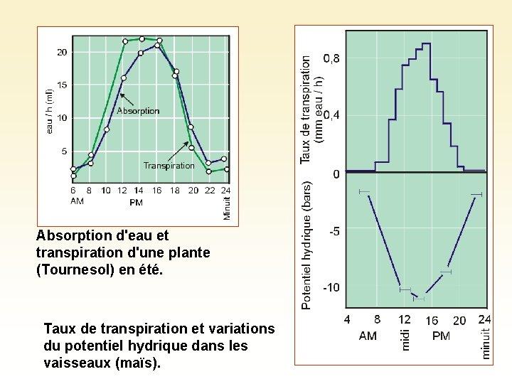 Absorption d'eau et transpiration d'une plante (Tournesol) en été. Taux de transpiration et variations