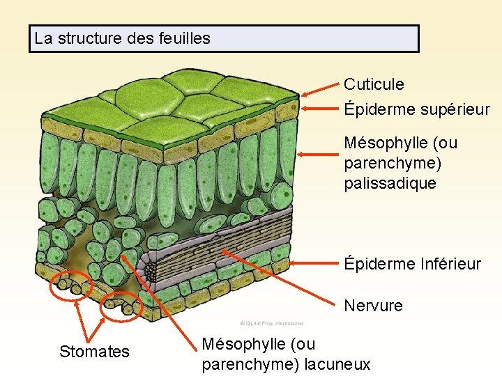 La structure des feuilles Cuticule Épiderme supérieur Mésophylle (ou parenchyme) palissadique Épiderme Inférieur Nervure