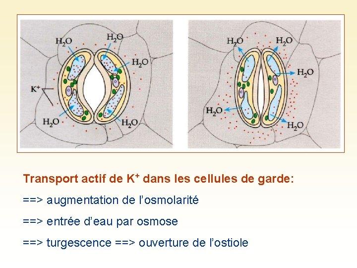 Transport actif de K+ dans les cellules de garde: ==> augmentation de l'osmolarité ==>