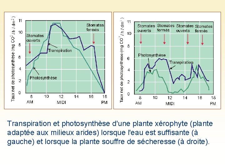 Transpiration et photosynthèse d'une plante xérophyte (plante adaptée aux milieux arides) lorsque l'eau est