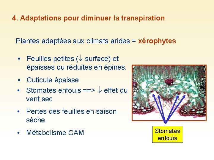 4. Adaptations pour diminuer la transpiration Plantes adaptées aux climats arides = xérophytes •