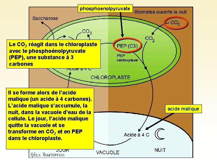 phosphoenolpyruvate Le CO 2 réagit dans le chloroplaste avec le phosphoénolpyruvate (PEP), une substance