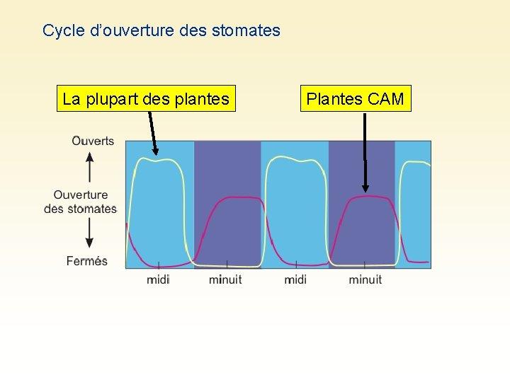 Cycle d'ouverture des stomates La plupart des plantes Plantes CAM