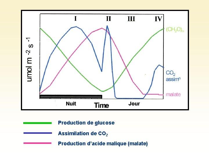 Nuit Jour Production de glucose Assimilation de CO 2 Production d'acide malique (malate)