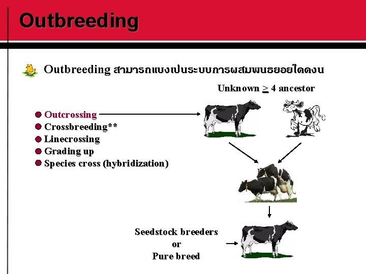 Outbreeding สามารถแบงเปนระบบการผสมพนธยอยไดดงน Unknown > 4 ancestor Outcrossing Crossbreeding** Linecrossing Grading up Species cross (hybridization)