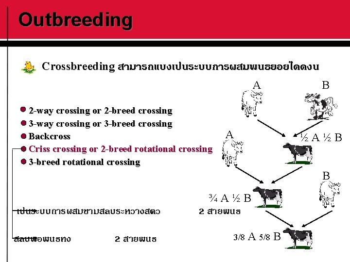 Outbreeding Crossbreeding สามารถแบงเปนระบบการผสมพนธยอยไดดงน A 2 -way crossing or 2 -breed crossing 3 -way crossing