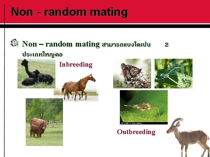 Non - random mating Non – random mating สามารถแบงไดเปน ประเภทใหญคอ Inbreeding Outbreeding 2