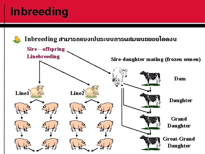 Inbreeding สามารถแบงเปนระบบการผสมพนธยอยไดดงน Sire – offspring Linebreeding Sire-daughter mating (frozen semen) Dam Line 1 Line