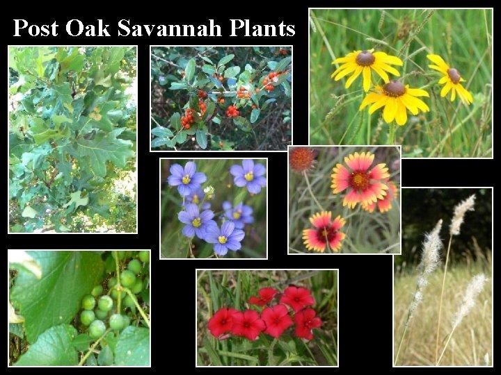 Post Oak Savannah Plants