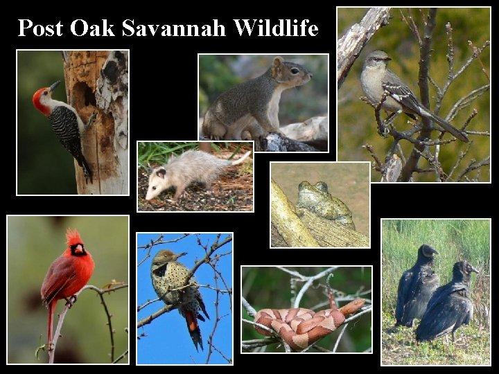 Post Oak Savannah Wildlife