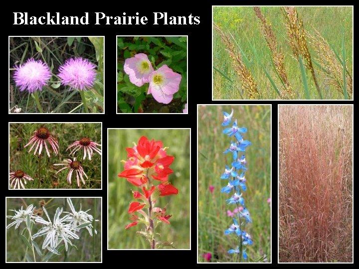 Blackland Prairie Plants