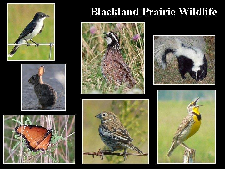 Blackland Prairie Wildlife