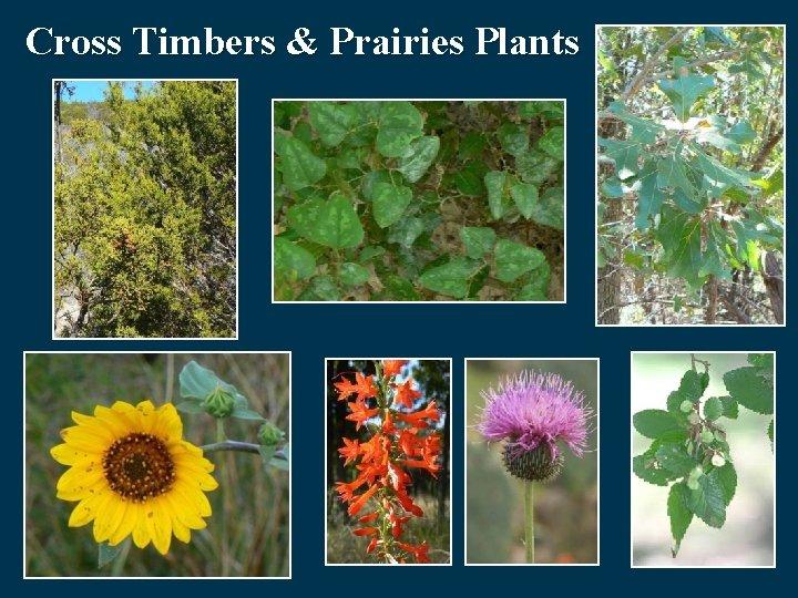 Cross Timbers & Prairies Plants