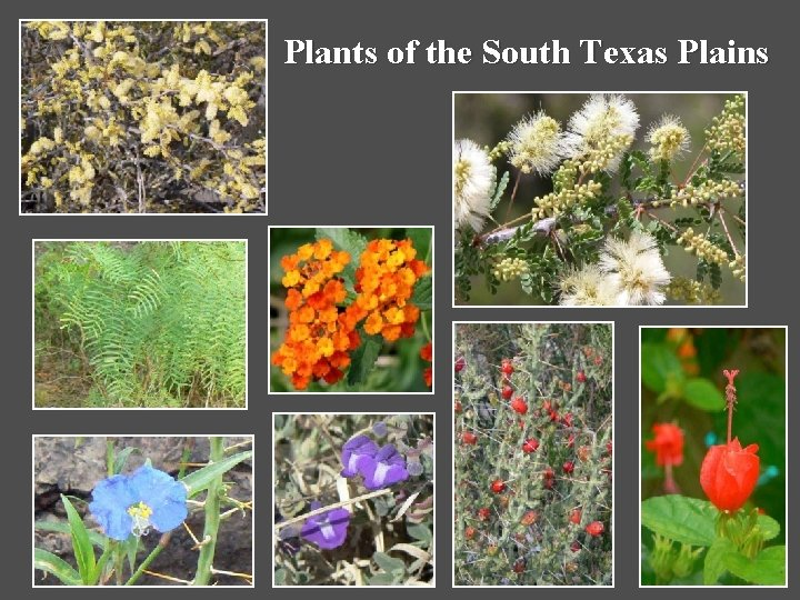 Plants of the South Texas Plains