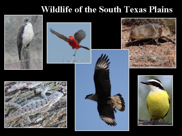 Wildlife of the South Texas Plains