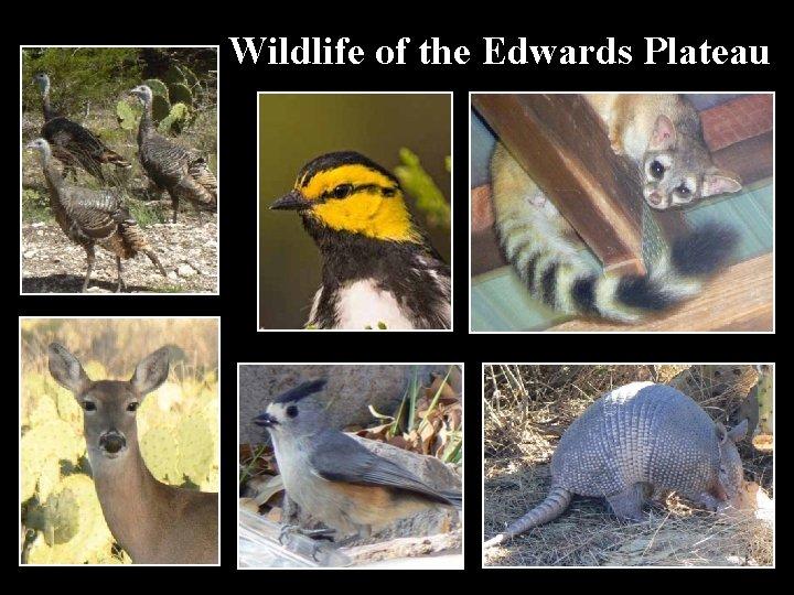 Wildlife of the Edwards Plateau