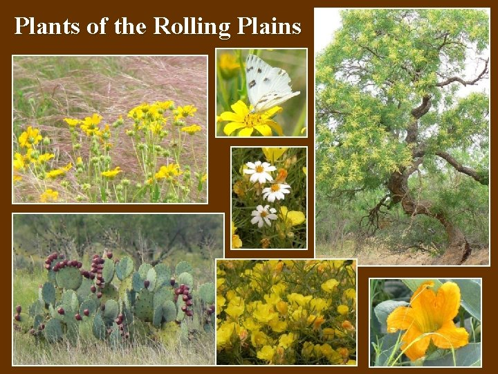 Plants of the Rolling Plains