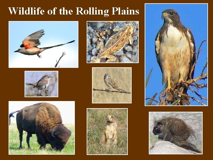 Wildlife of the Rolling Plains