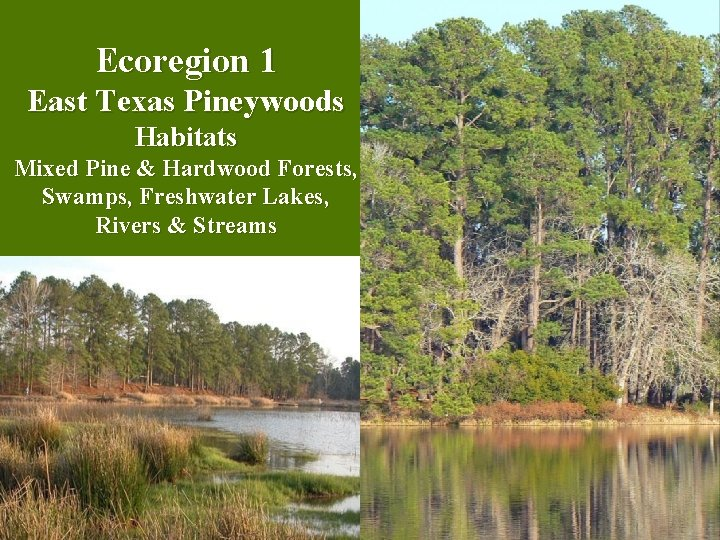 Ecoregion 1 East Texas Pineywoods Habitats Mixed Pine & Hardwood Forests, Swamps, Freshwater Lakes,