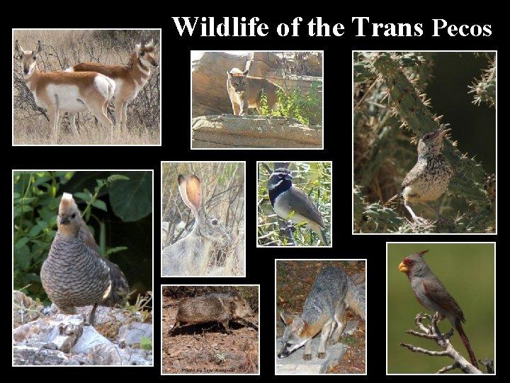 Wildlife of the Trans Pecos
