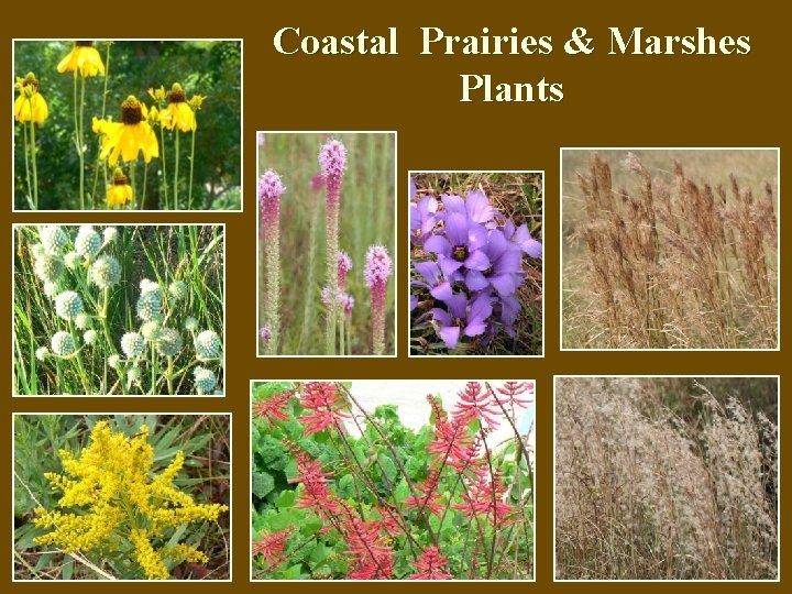 Coastal Prairies & Marshes Plants
