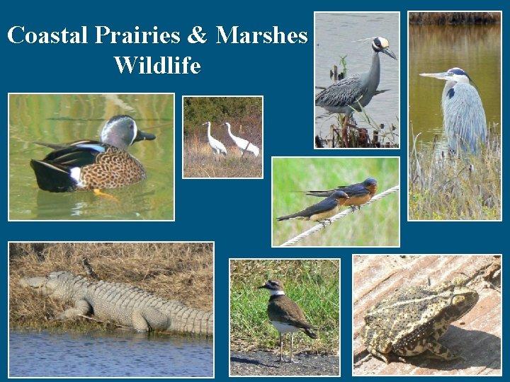 Coastal Prairies & Marshes Wildlife