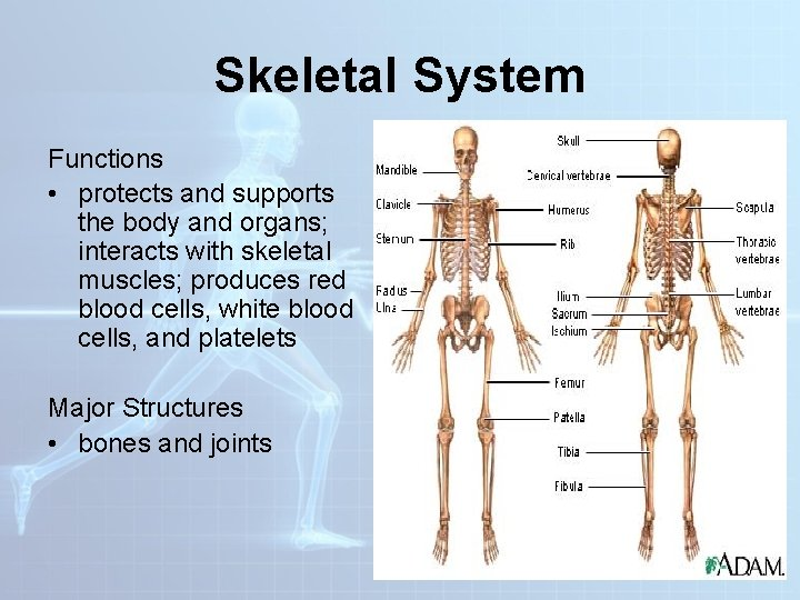 Skeletal System Functions • protects and supports the body and organs; interacts with skeletal