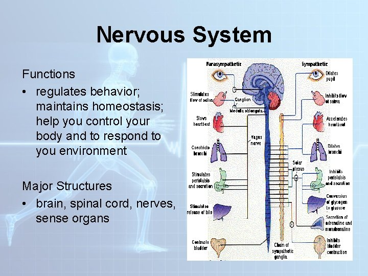 Nervous System Functions • regulates behavior; maintains homeostasis; help you control your body and