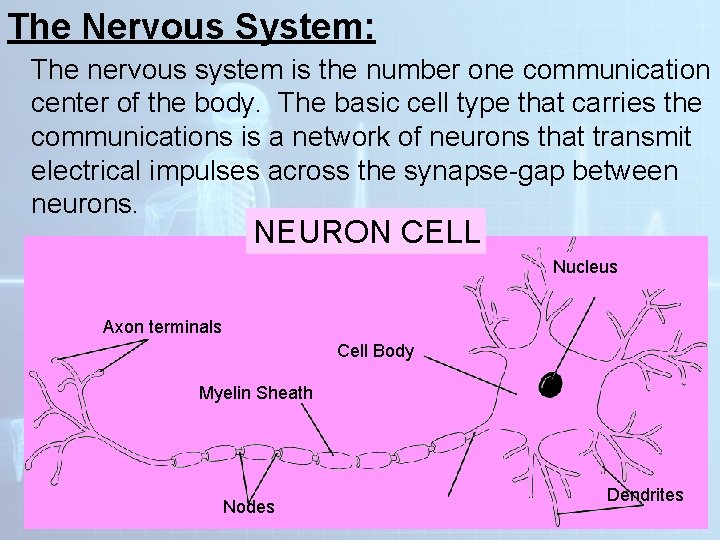 The Nervous System: The nervous system is the number one communication center of the