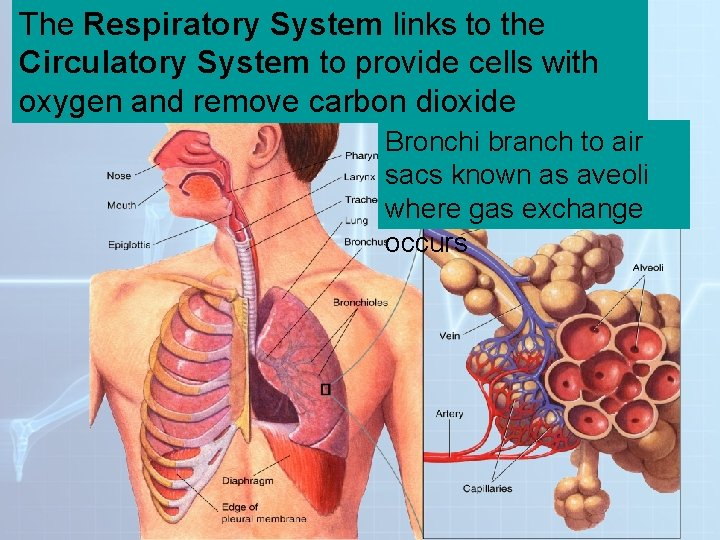 The Respiratory System to the. System Figure 37 -13 Thelinks Respiratory Circulatory System to