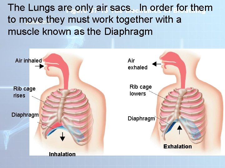 The Lungs are only 37 -15 air sacs. In order for them Figure The