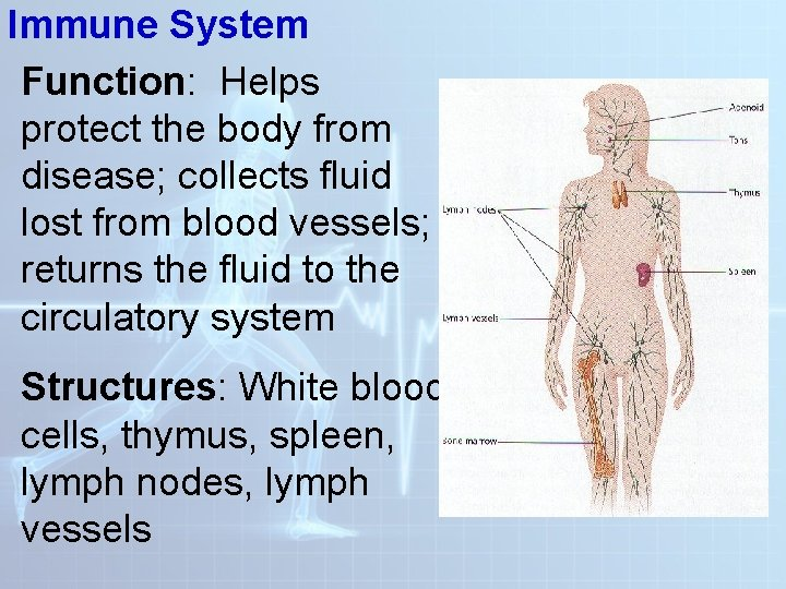 Immune System Function: Helps protect the body from disease; collects fluid lost from blood