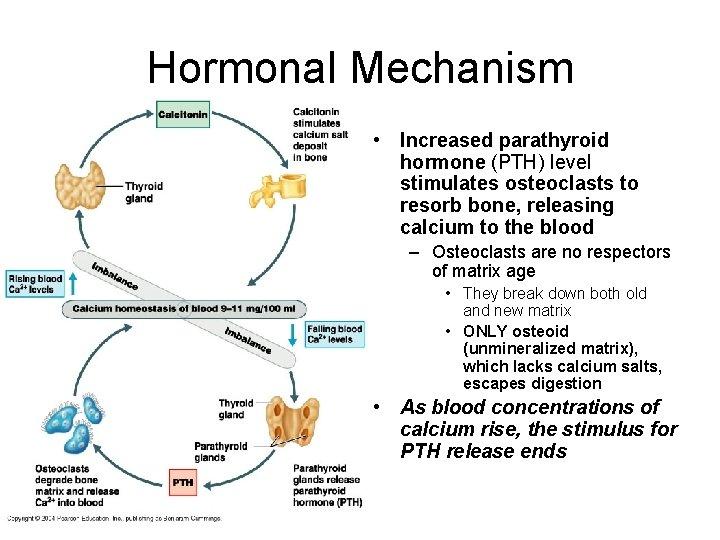 Hormonal Mechanism • Increased parathyroid hormone (PTH) level stimulates osteoclasts to resorb bone, releasing