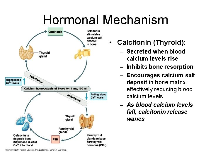 Hormonal Mechanism • Calcitonin (Thyroid): – Secreted when blood calcium levels rise – Inhibits