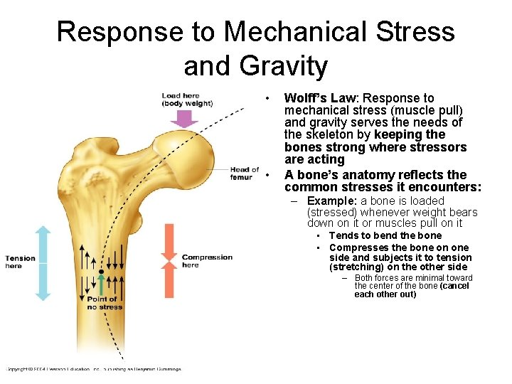Response to Mechanical Stress and Gravity • • Wolff's Law: Response to mechanical stress
