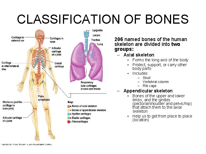 CLASSIFICATION OF BONES • 206 named bones of the human skeleton are divided into