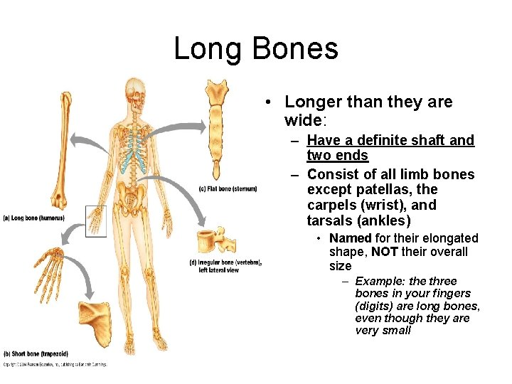Long Bones • Longer than they are wide: – Have a definite shaft and
