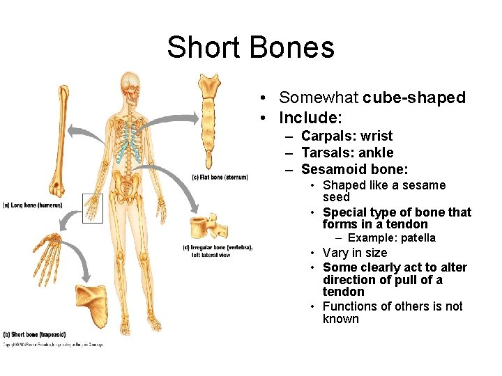 Short Bones • Somewhat cube-shaped • Include: – Carpals: wrist – Tarsals: ankle –