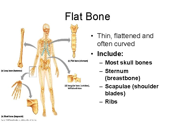 Flat Bone • Thin, flattened and often curved • Include: – Most skull bones