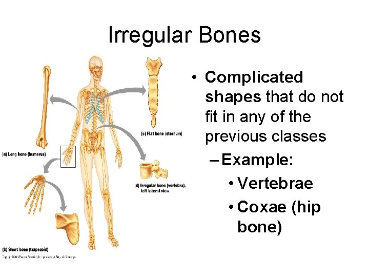 Irregular Bones • Complicated shapes that do not fit in any of the previous