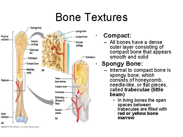 Bone Textures • Compact: – All bones have a dense outer layer consisting of
