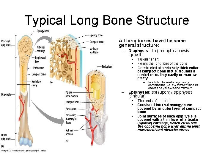 Typical Long Bone Structure • All long bones have the same general structure: –