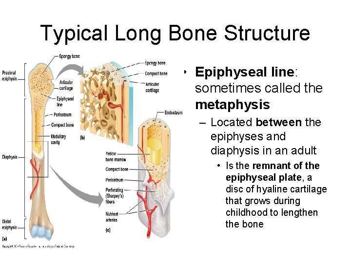Typical Long Bone Structure • Epiphyseal line: sometimes called the metaphysis – Located between