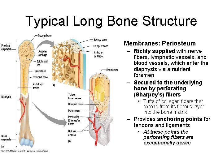 Typical Long Bone Structure • Membranes: Periosteum – Richly supplied with nerve fibers, lymphatic