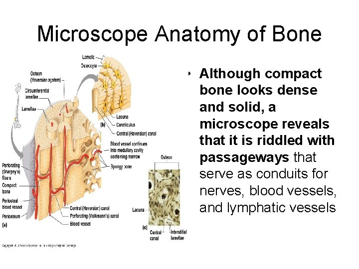 Microscope Anatomy of Bone • Although compact bone looks dense and solid, a microscope