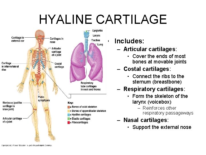 HYALINE CARTILAGE • Includes: – Articular cartilages: • Cover the ends of most bones