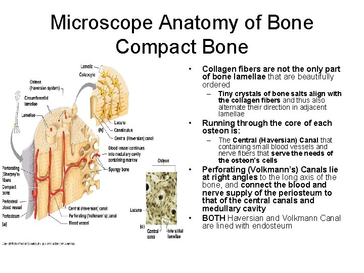 Microscope Anatomy of Bone Compact Bone • Collagen fibers are not the only part