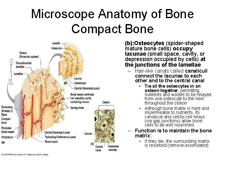 Microscope Anatomy of Bone Compact Bone • (b): Osteocytes (spider-shaped mature bone cells) occupy