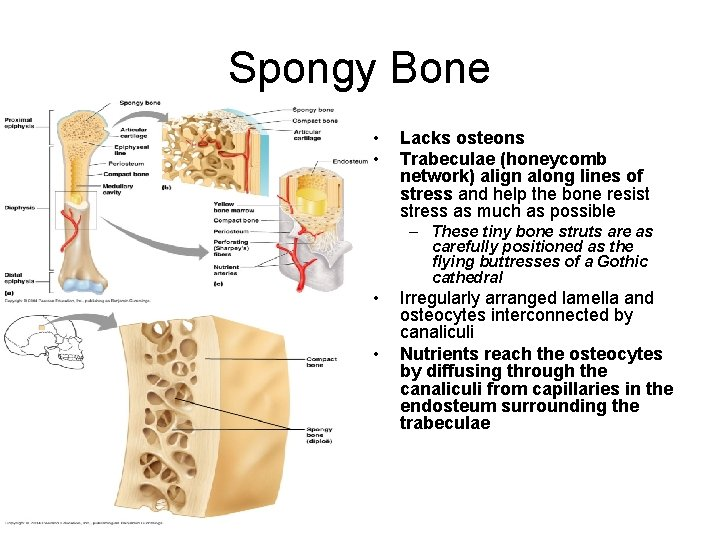 Spongy Bone • • Lacks osteons Trabeculae (honeycomb network) align along lines of stress