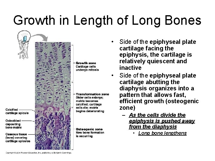 Growth in Length of Long Bones • Side of the epiphyseal plate cartilage facing